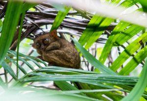 Koboldmaki im Baum auf Bohol