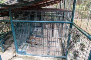 Tiger in kleinem Käfig