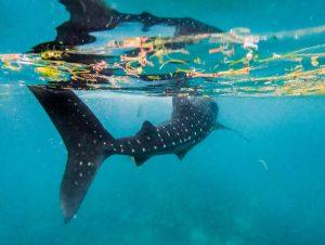 Schwimmender Walhaie in Oslob Philippinen