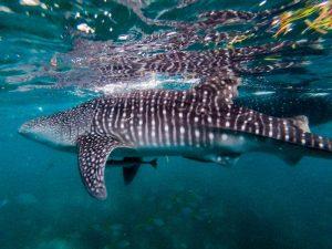 Walhai im Wasser von Oslob Cebu