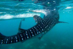Großer Walhaie