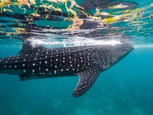 Schwimmen mit den Oslob Walhaien