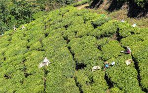 Menschen arbeiten in Teefeldern
